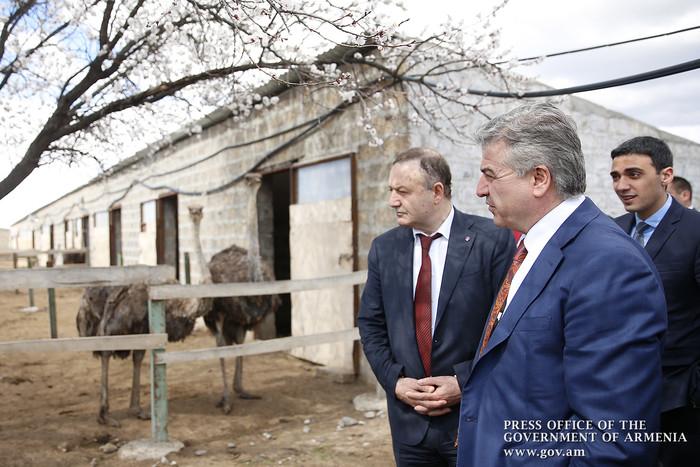 Карен Карапетян ознакомился с процессом разведения страусов в Армавирской области